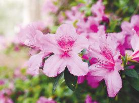Brightly colored azalea flowers.
