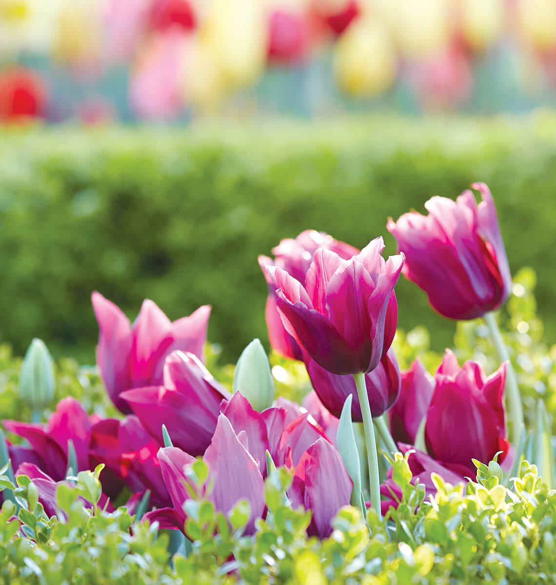 Multiple deep pink colored tulips.