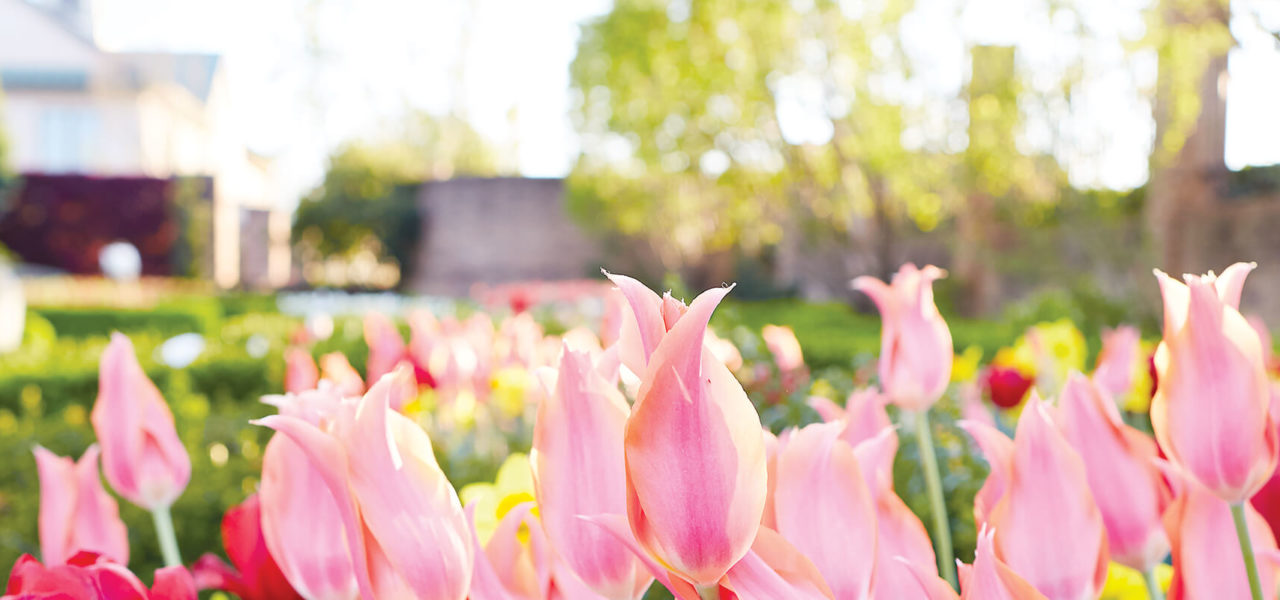Multiple colors of tulips growing in a line.